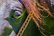 Amir's Soul- Arabian Stallion