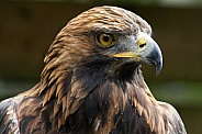 Buzzard close up