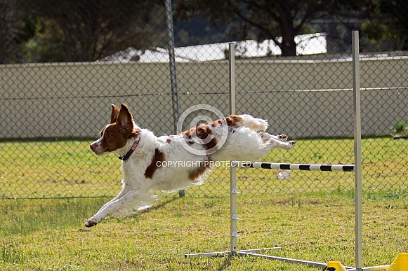 Brittany spaniel jumping (male).