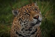 Jaguar Face Shot Looking Upwards