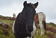 Pony, Bodmin Moor, Cornwall