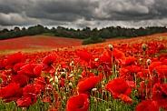 Summer Poppy Fields
