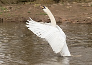 Mute Swan Stretching Forwards