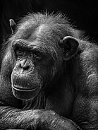Black and white Chimpanzee