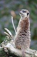 Meerkat (Cercopithecini)