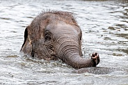 Asian Elephant Calf In Water
