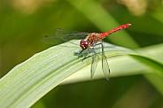 Ruddy darter (Sympetrum sanguineum) dragonfly