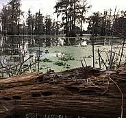 Cypress Trees in Lake Martin