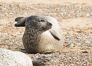 Common Seal Portrait