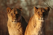 African lion sisters
