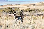 Antelope, Pronghorn