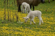Sheep & Spring Lambs
