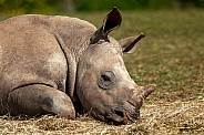 Young White Rhino Sleeping