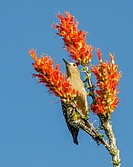 Gila Woodpecker feeding from Ocotillo Flowers