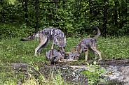 Coyote watching Pups