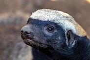 African Honey Badger
