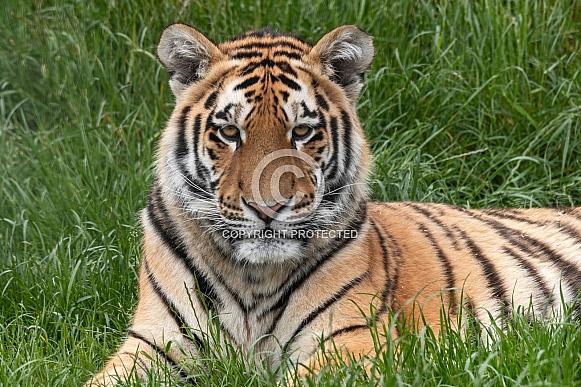 Amur Tiger Cub Lying In The Grass