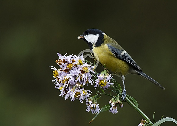Great tit on a asters twig