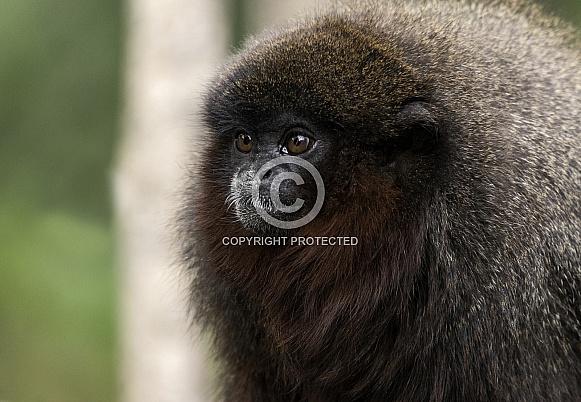 Red Titi Monkey Close Up
