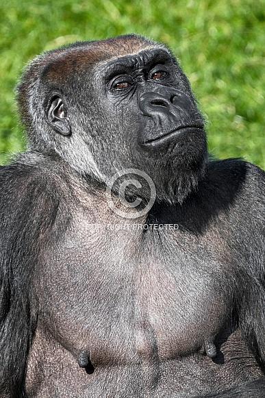 Portrait Shot Western Lowland Gorilla