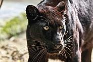 Black Leopard Close Up