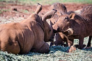 Young Rhino and Warthog