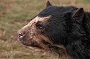 Andean Bear Side Profile