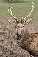 Roe Deer - Stag Close Up