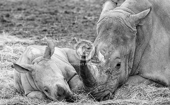 Rhino and calf