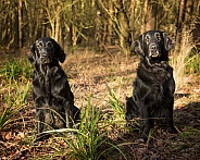 Working Flat Coated Retriever Dog and Bitch