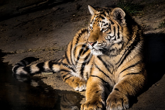 Tiger resting by water