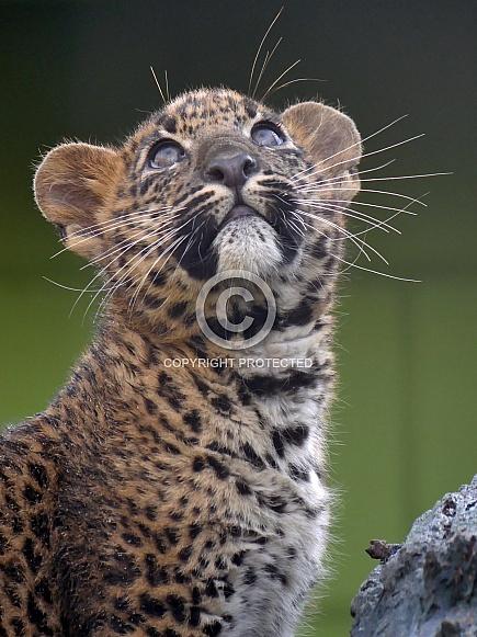 Sri Lankan Leopard Cub