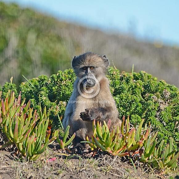 Juvenile Baboon Foraging