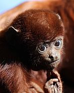Red howler baby