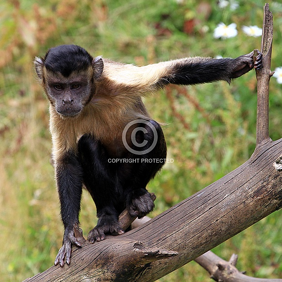 Brown Capuchin Monkey