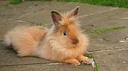 Pet Rabbit.