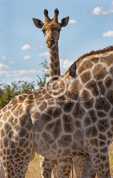 Baby Giraffe standing behind its mother - Botswana