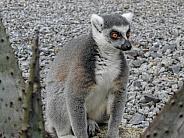 Black & White-tailed Lemur