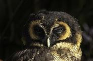 Brown Wood Owl Close up