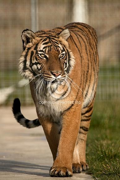 Malayan Tiger Walking
