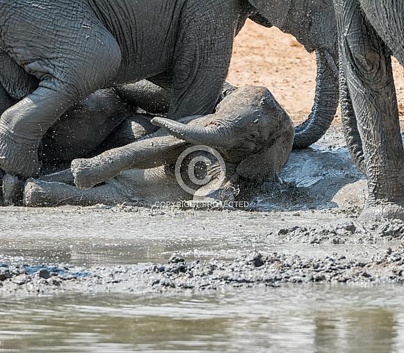 Baby Elephant Mud Bath (wild)