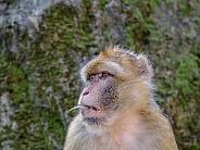 Berber Monkey