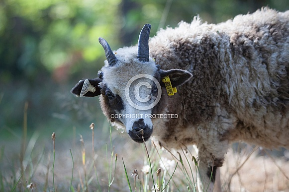 Lilac Jacob Sheep