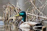 Male Mallard Duck Closeup in the Reeds