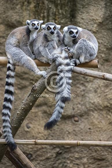 Ring-Tailed Lemur Group