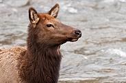 Wild female elk near water