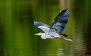 A Grey Heron in flight