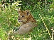 Lion Cub (wild)