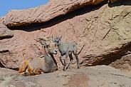Bighorn Lamb and Ewe