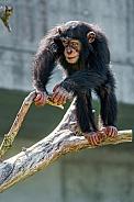 Chimp Balancing on Branch